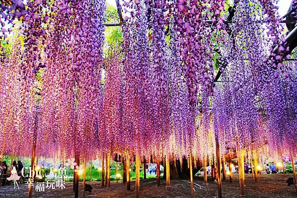 足利公園紫藤雨 (383)
