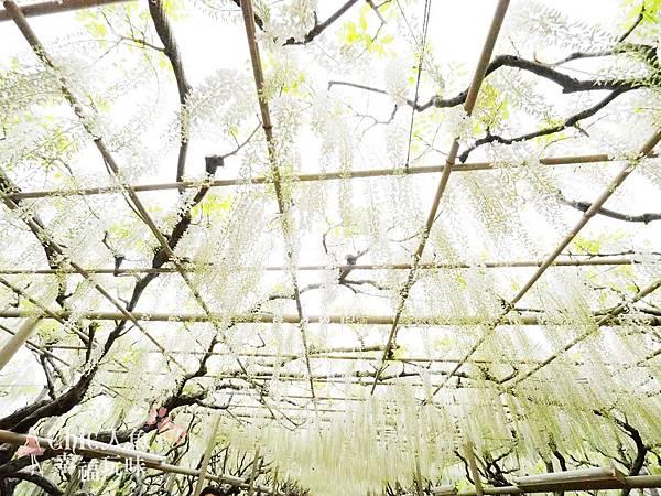 足利公園紫藤雨 (392)