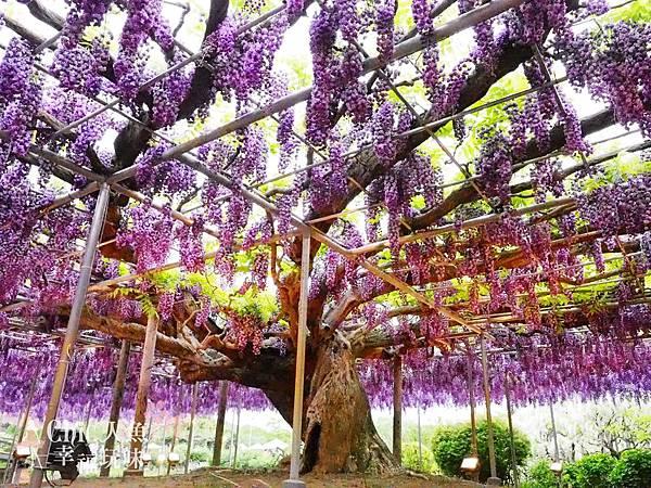 足利公園紫藤雨 (405)