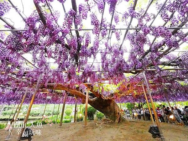 足利公園紫藤雨 (410)