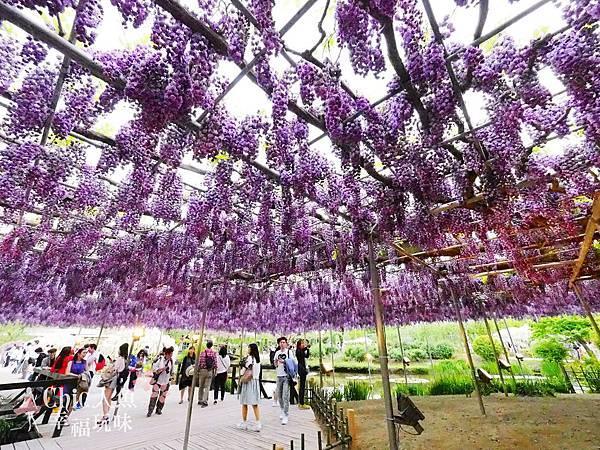 足利公園紫藤雨 (413)
