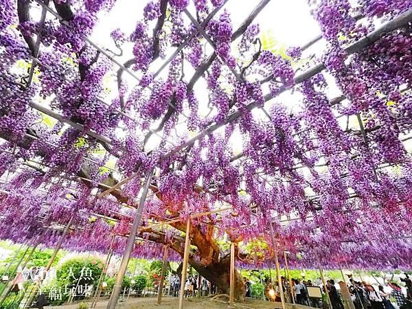 足利公園紫藤雨 (416)