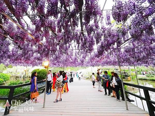 足利公園紫藤雨 (419)