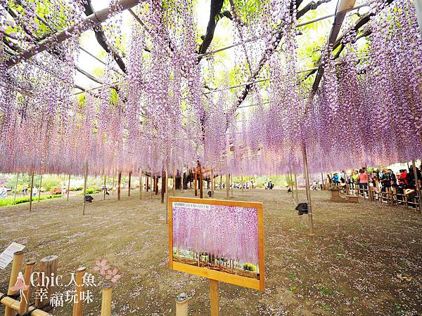 足利公園紫藤雨 (426)