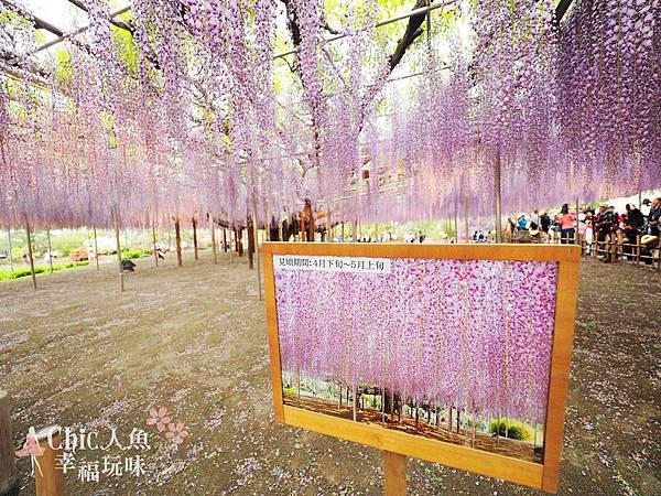 足利公園紫藤雨 (427)