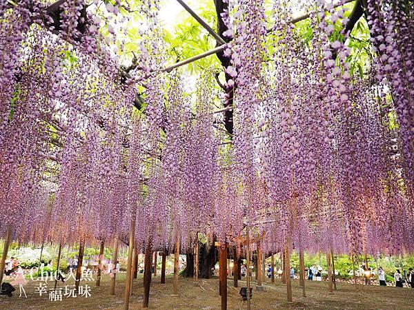 足利公園紫藤雨 (430)