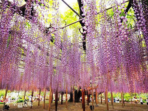 足利公園紫藤雨 (431)