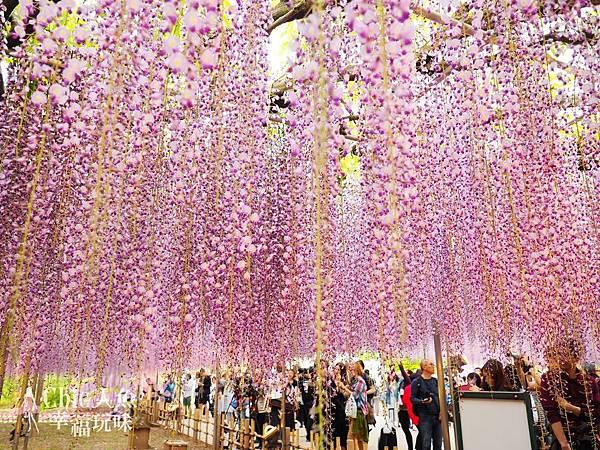 足利公園紫藤雨 (434)