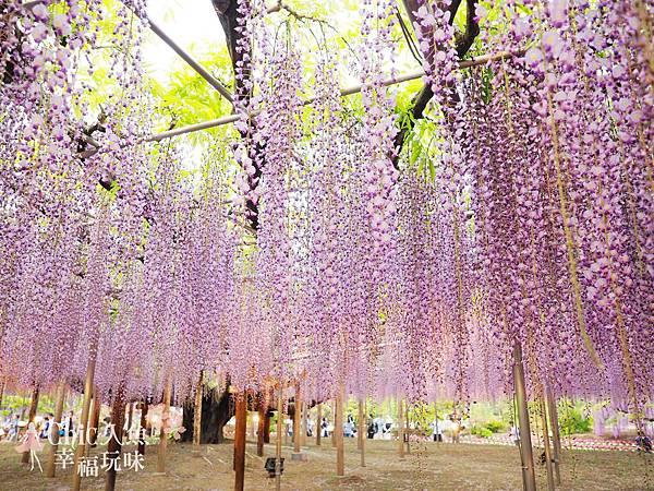 足利公園紫藤雨 (435)
