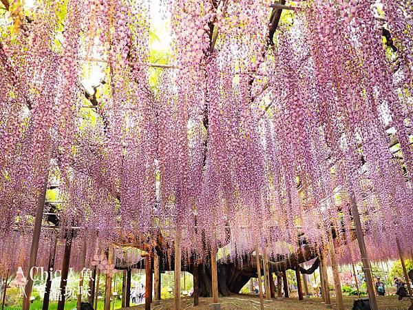 足利公園紫藤雨 (436)