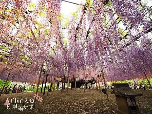 足利公園紫藤雨 (438)