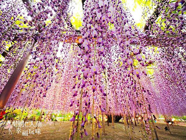 足利公園紫藤雨 (441)