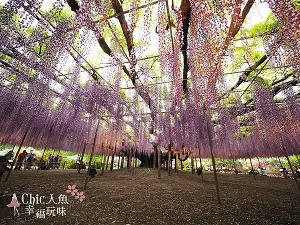 足利公園紫藤雨 (442)