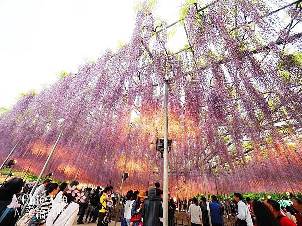 足利公園紫藤雨 (445)