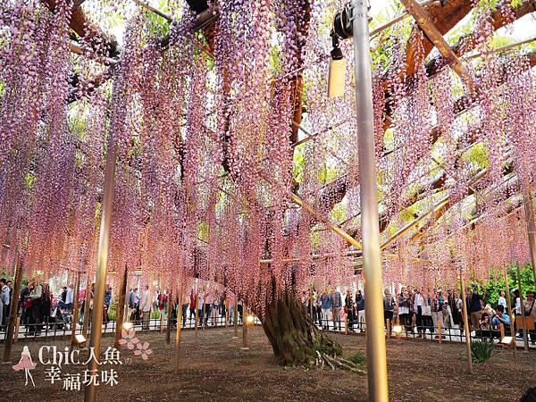 足利公園紫藤雨 (450)