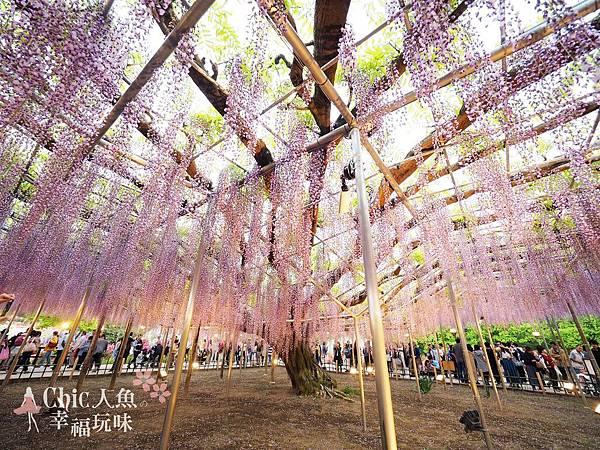 足利公園紫藤雨 (455)