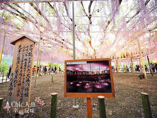 足利公園紫藤雨 (456)