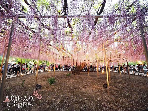 足利公園紫藤雨 (465)