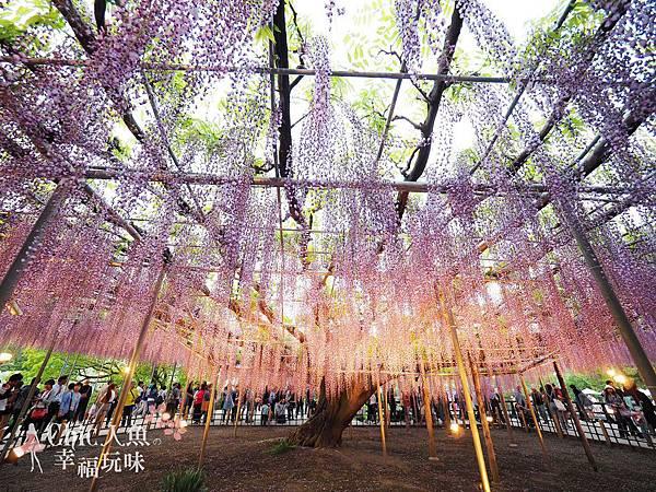 足利公園紫藤雨 (468)
