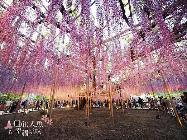 足利公園紫藤雨 (469)