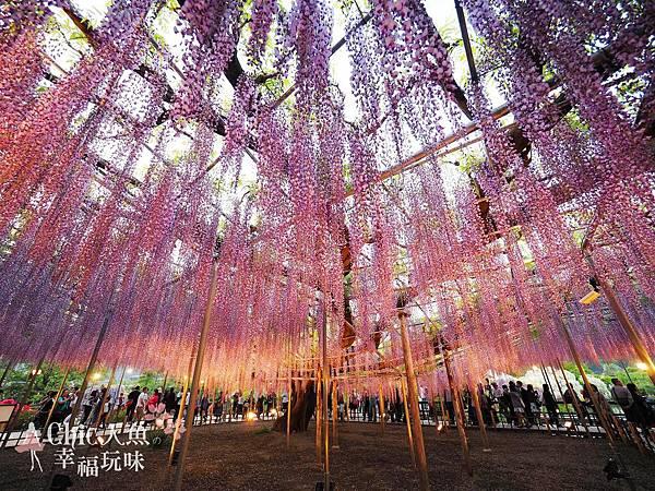 足利公園紫藤雨 (472)