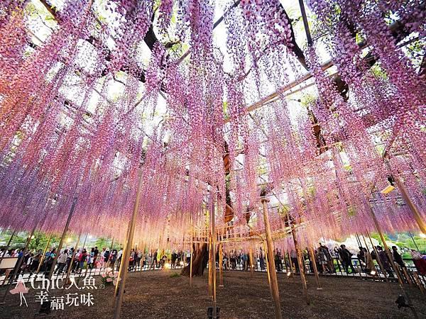 足利公園紫藤雨 (473)