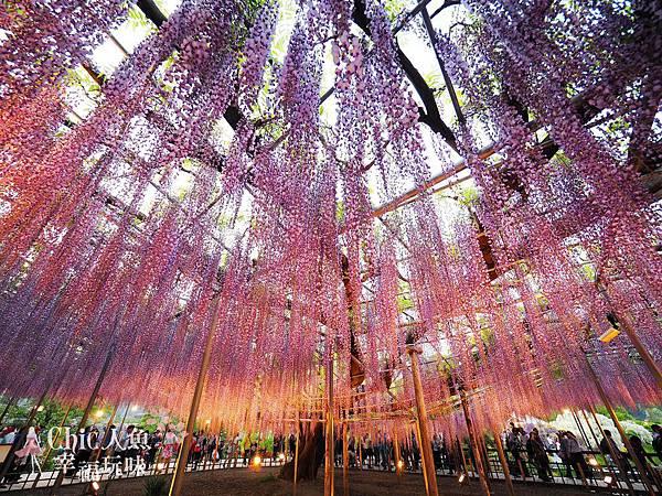 足利公園紫藤雨 (476)