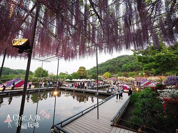 足利公園紫藤雨 (478)