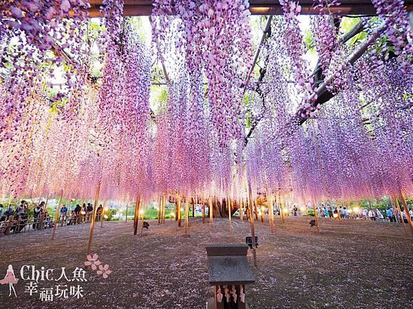 足利公園紫藤雨 (483)