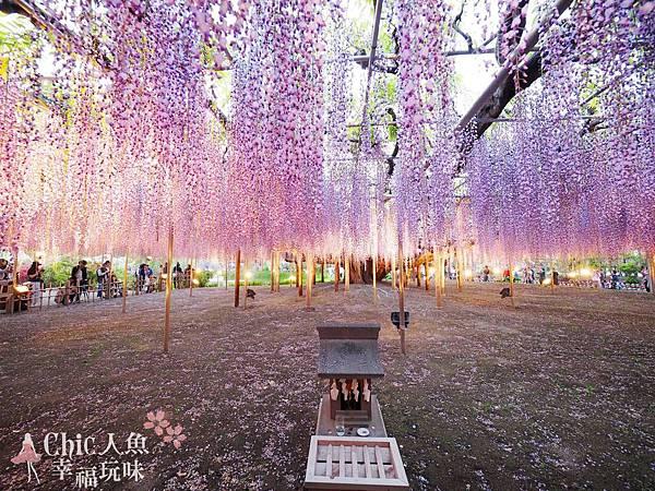 足利公園紫藤雨 (484)