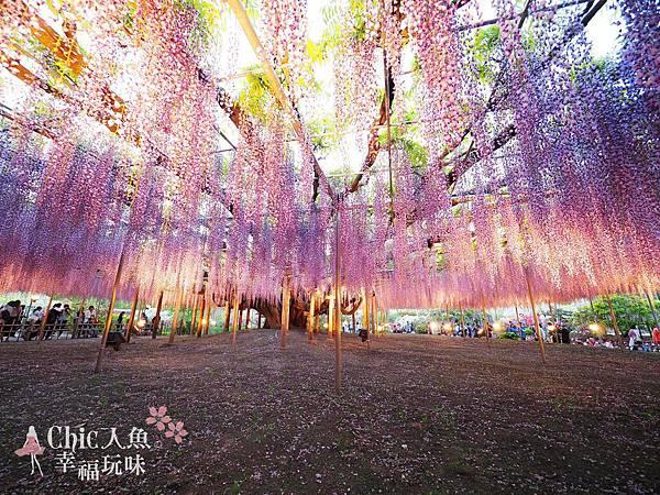 足利公園紫藤雨 (485)