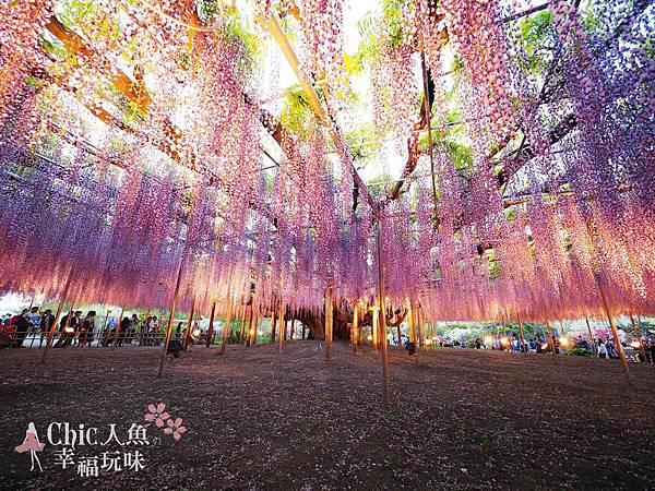足利公園紫藤雨 (486)