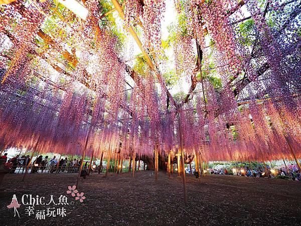 足利公園紫藤雨 (487)
