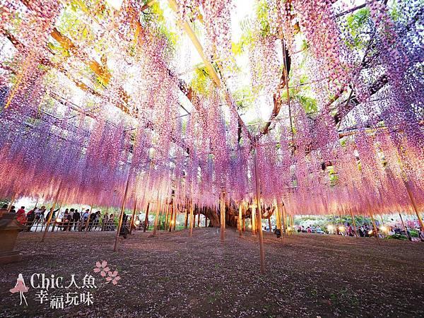 足利公園紫藤雨 (489)