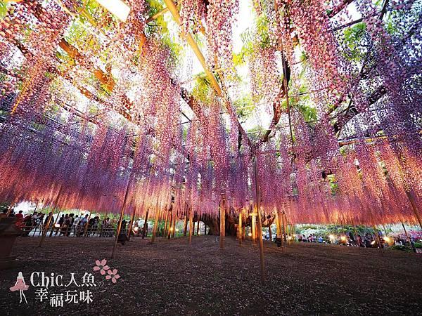 足利公園紫藤雨 (490)