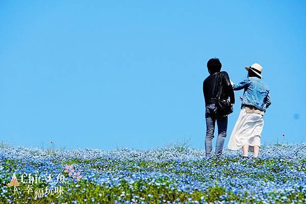 日本ibaraki日立公園粉蝶花海 (13)