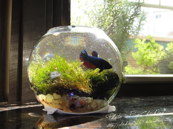2012/2/4* 好天氣我的魚缸冒泡泡