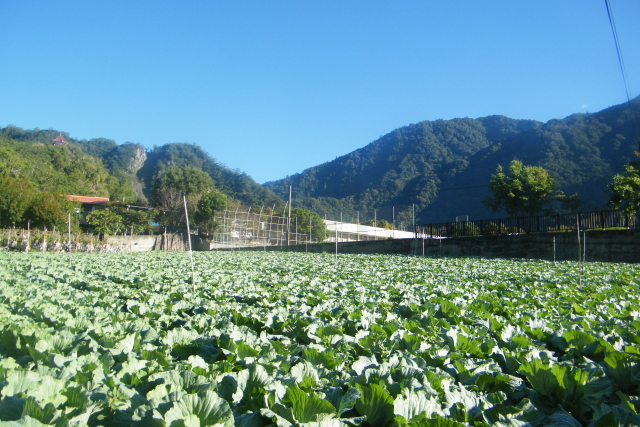 台東旅遊-霧鹿村高麗菜