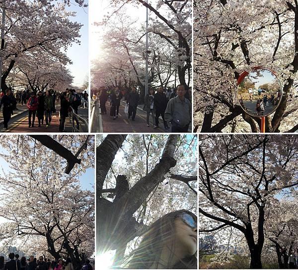 cherry_blossom9