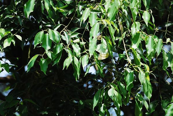 樹裡藏歡.JPG