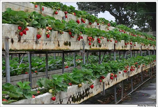 20130303-strawberry-12