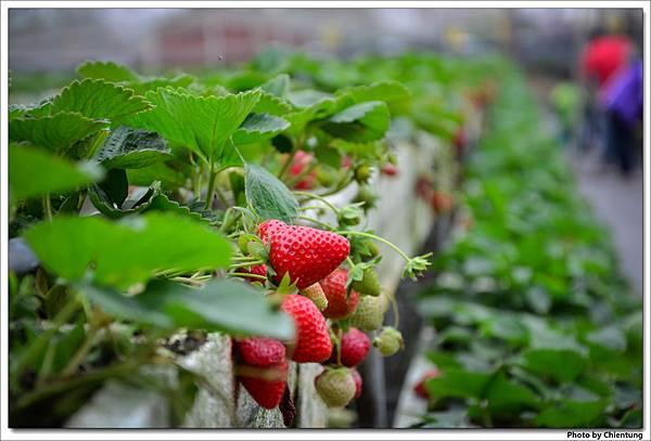 20130303-strawberry-15