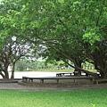 門口右手邊的大榕樹.jpg