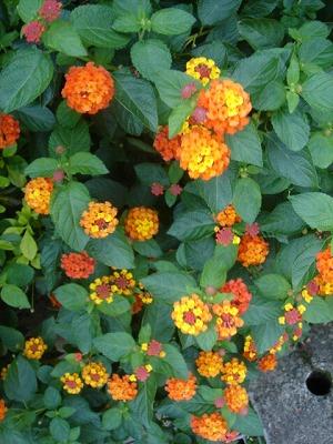 陽明山的花