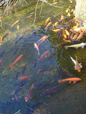 院子裡の鲤鱼