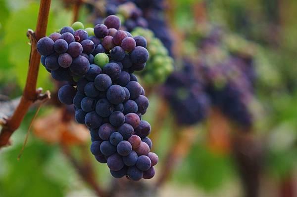 葡萄酒品種2.jpg