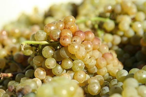 葡萄酒品種3.jpg