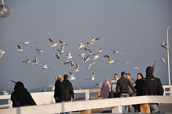 恐怖的爭食海鷗群