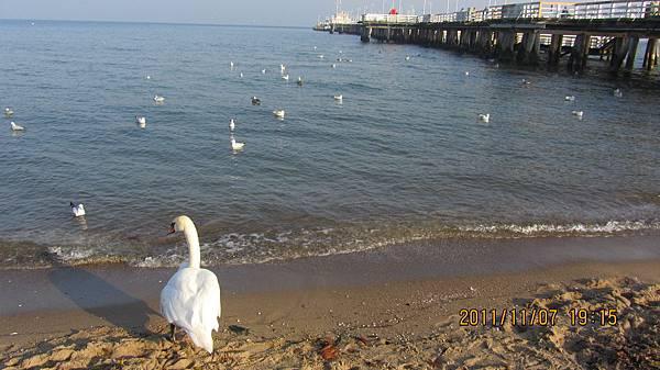 波羅的海旁的天鵝