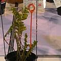 竹節蘭.jpg